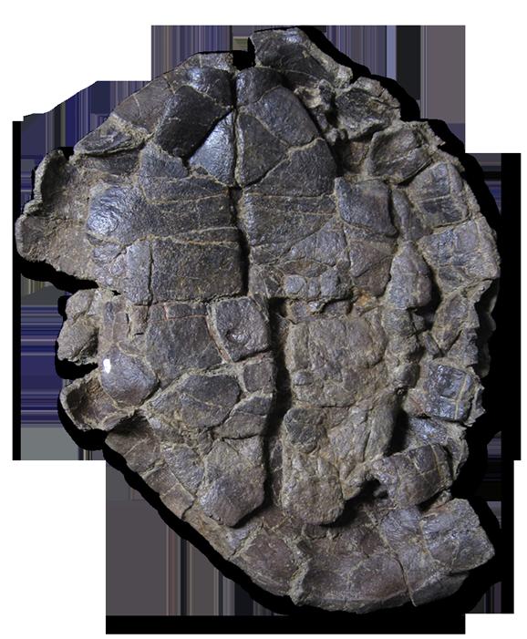 Pelorochelon soriana